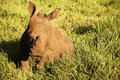 Baby rhinoceros Stock Photography