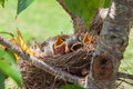 Baby robin birds nesting in a low tree Royalty Free Stock Images