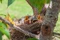Baby Robin birds Royalty Free Stock Photo