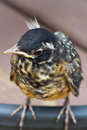 Baby robin cocking his head Royalty Free Stock Photo