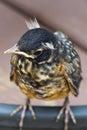 Baby robin cocking his head Royalty Free Stock Photo