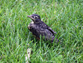 Baby robin just out of the nest a minutes after hopping he or she is sitting in grass near a stick and looking around alertly Royalty Free Stock Image