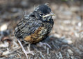 Baby Robin 3 Royalty Free Stock Photo