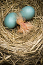 Baby robin in nest with two eggs Royalty Free Stock Photo