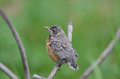 Baby robin a perches on a metal structure Stock Photos