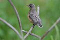 Baby robin a perches on a metal structure Royalty Free Stock Photos