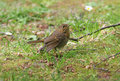 Baby Robin red breast Stock Images
