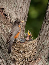 Baby robin screams in hunger Stock Photo