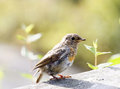 Baby robin standing on a plank Royalty Free Stock Photo