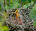 Baby Robins Royalty Free Stock Images