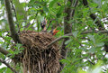 Baby robins in nest two turdus migratorius with necks stretched and mouths open begging for food Royalty Free Stock Images