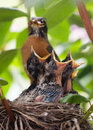 Baby robins open beaks Royalty Free Stock Photo