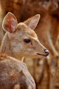 Baby rusa deer Royalty Free Stock Images