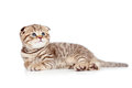 Baby Scottish fold kitten lying on floor Stock Photography