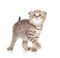 Baby Scottish kitten looking up Stock Photography