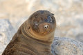 Baby sea lion galapagos islands Royalty Free Stock Images