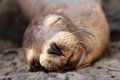 Baby sea lion sleeping in the Galapagos Islands Royalty Free Stock Image
