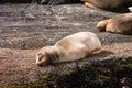 Baby sea lion sleeping rock beagle channel Stock Image