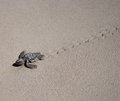 Baby Sea Turtle Royalty Free Stock Photography
