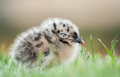 Baby seagull closed eyes in fear Royalty Free Stock Photography