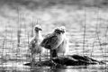 Baby seagulls looking cute on a rock Royalty Free Stock Photography