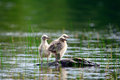 Baby seagulls looking cute on a rock Stock Photos