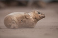 Baby seal this grey turns its back towards the driving blast of sand as a gale tears across his beach Stock Images