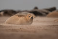 Baby seal a young grey pup in a sandstorm on a lincolnshire beach Royalty Free Stock Photos