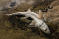 Baby shark carcass close up of Stock Photos
