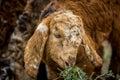 Baby Sheep