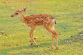 Baby sika deer is reddish brown with white spots and spends the first week of its life lying still in long grass visited by its Stock Photos