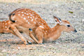 Baby sika deer is reddish brown with white spots and spends the first week of its life lying still in long grass visited by its Stock Images