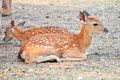 Baby sika deer is reddish brown with white spots and spends the first week of its life lying still in long grass visited by its Royalty Free Stock Photography