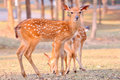 Baby sika deer is reddish brown with white spots and spends the first week of its life lying still in long grass visited by its Royalty Free Stock Image