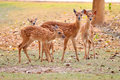 Baby sika deer is reddish brown with white spots and spends the first week of its life lying still in long grass visited by its Stock Image