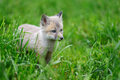 Baby silver fox Royalty Free Stock Photo