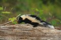 Baby Skunk 1 Royalty Free Stock Image