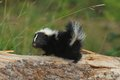 Baby Skunk 2 Stock Image