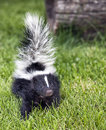 Baby skunk close up image of a young walking toward the camera summer in wisconsin Stock Images