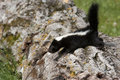 Baby skunk on a log little trying to get across big Royalty Free Stock Photography