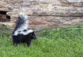 Baby skunk profile image of an alert young with its tail up summer in wisconsin Stock Images