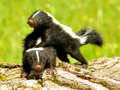 Baby Skunks Playing With Each ...