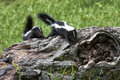 Baby skunks two climbing over a log Royalty Free Stock Image