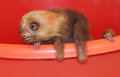 Baby sloth in an animal sanctuary costa rica hoffmann s two toed choloepus hoffmanni slot is waiting for a medical help Royalty Free Stock Photos