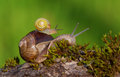 Baby snail Stock Photo