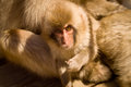 Baby snow monkey looking at camera Stock Photos