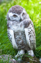 Baby snow owl (lat. Bubo scandiacus) Royalty Free Stock Images