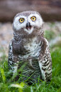 Baby snow owl (lat. Bubo scandiacus) Royalty Free Stock Photography