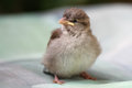 Baby Sparrow Royalty Free Stock Photo