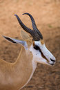 Baby springbok in the kalahari desert Stock Photography